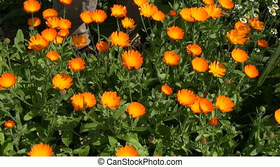 harvesting calendula marigold plant - harvesting beautiful...