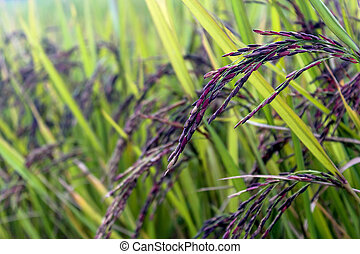 Rice (black beans) - Rice in green paddy about ready to be...