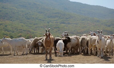 Herd of goats and sheeps grazing in the pasture in the...