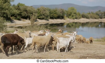 Herd of goats and sheep running to the pond located in...