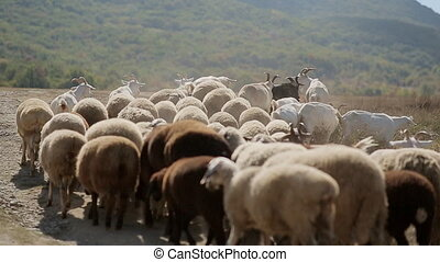 Herd of sheep and goats grazing on meadow in the mountains