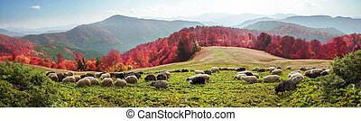 Transcarpathian pastures in autumn - On pastures near the...
