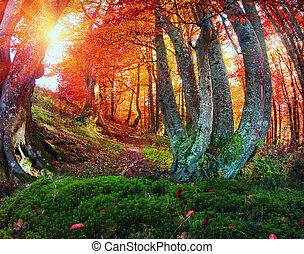 Gold beech forest - Autumn in the forest and Transcarpathia...