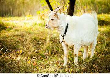 White goat on the pasture