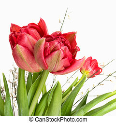 Red double tulips with white broom detail, square crop -...