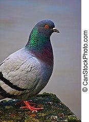 Portrait of pigeon , portrait de pigeon
