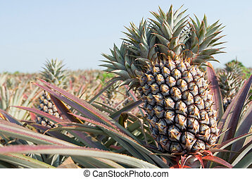 pineapple, tropical fruit - The farm of pineapple, tropical...