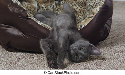 Cute gray kitten yawning and stretching in cat bed