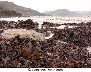 Seaweed on Lyme Regis Beach, Dorset - The tide is coming in