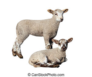 Two Lambs isolated with clipping path