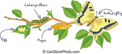 The metamorphosis of the butterfly egg, caterpillar, pupa,...