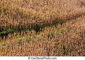 Dead corn field after harvest season ,Dead maize for...