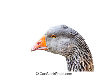 Closeup of beautiful goose posing to the camera