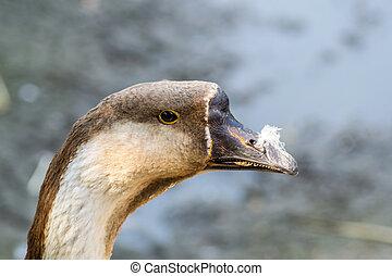 Closeup of beautiful goose posing to the camera