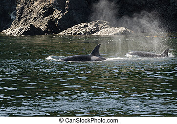 Killer Whale in Vancouver - pod of orcas Killer Whale...
