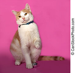 Red and white cat in blue collar sitting on pink background