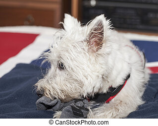 Westie - A West Highlands terrier chewing a sox
