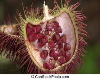 Achiote seeds Bixa orellana - source of Annatto dye