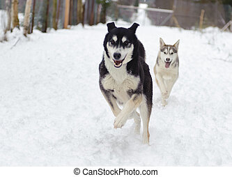 Husky running in winter in the forest on snow backgound
