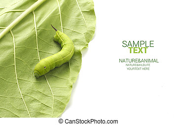 Worm walk on leaf isolated on white background with sample...