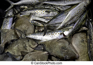 Catch of Spanish mackerel and triggerfish - Spanish mackerel...
