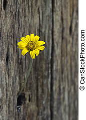 Yellow flower in hole old wooden fence
