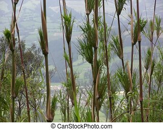 Chusquea Bamboo - on an Andean hillside, Ecuador