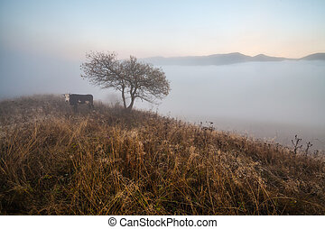 Cow grazing in green mountains with fog.