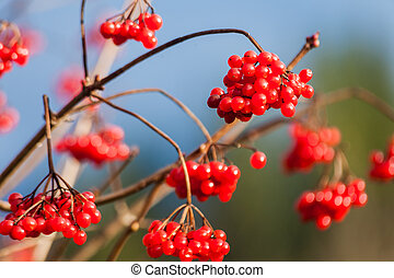 guelder-rose branch arrowwood berry red fruit tree.