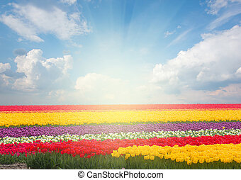 Dutch yellow tulip fields in sunny day - Famouse dutch...