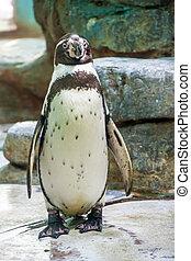 Humboldt penguin or Peruvian penguin (Spheniscus Humboldti)...
