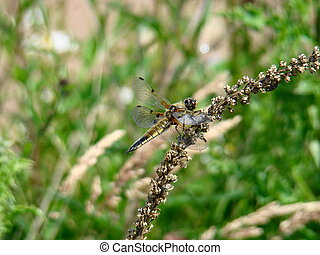 Four Spotted Chaser dragonfly,Libellula quadrimaculata,at...