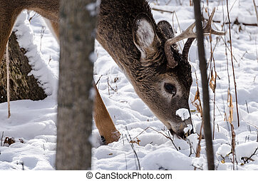A young whitetail buck in the winter time.