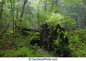 Old oak lying with root visible in front of natural...