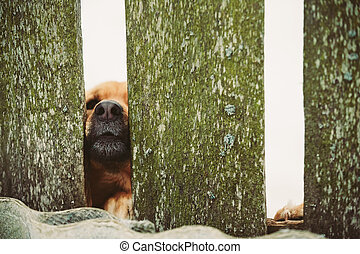 Angry Dog Look At Outside From Fence - Dog Peeking Through...