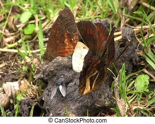 Butterflies feeding on animal feces - In cloudforest in the...