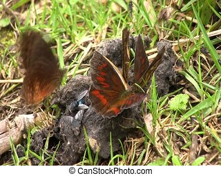 Brown butterfly feeding on animal feces