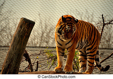 tiger in a zoo