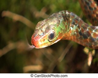 Rusty whipsnake Chironius scurrulus - In the Ecuadorian...