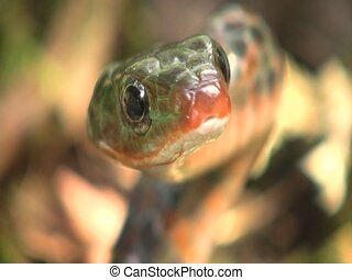 Rusty whipsnake (Chironius scurrulus) - In the Ecuadorian...