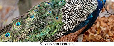 elegant fluffy peacock Pavo Cristatus