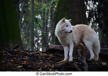 white wolf looking - beautiful white wolf standing and...