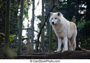 white wolf stands - beautiful white wolf stands in a...
