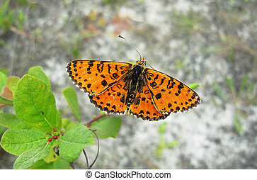 orange butterfly Argynnis on a green bush closeup