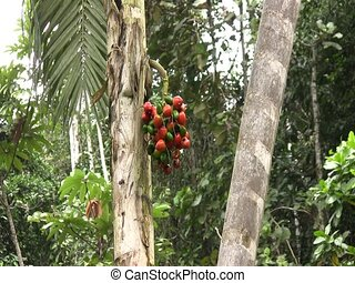 Fruit of the Chontaduro or peach palm - (Bactris gasipaes)