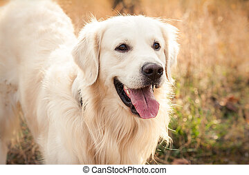 young golden retriever dog - portrait of a young golden...