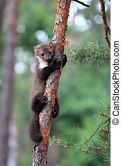 Marten beech, lat. Martes foina on the pine tree - Also...