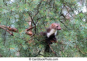 Marten beech, lat Martes foina on the pine tree - Also known...