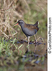 Water rail, Rallus aquaticus, single bird in marsh,...
