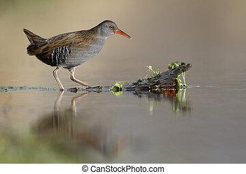 Water rail, Rallus aquaticus, single bird in marsh,...